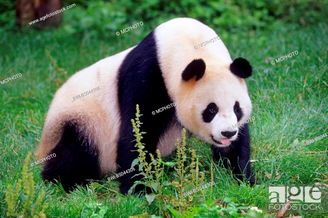 Stock Photo: giant panda (Ailuropoda melanoleuca), adult panda in the research station of Wolong, national animal of China, China, Sichuan, Wolong.