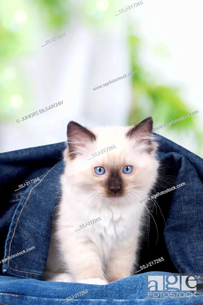 Stock Photo: Ragdoll. Kitten sitting under a denim jacket. Germany.
