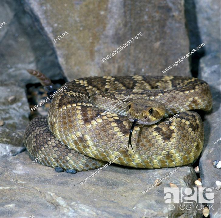Stock Photo: Snake - Rattlesnake Diamond-backed WesternCrotulus atrox coiled on a rock / tongue out.