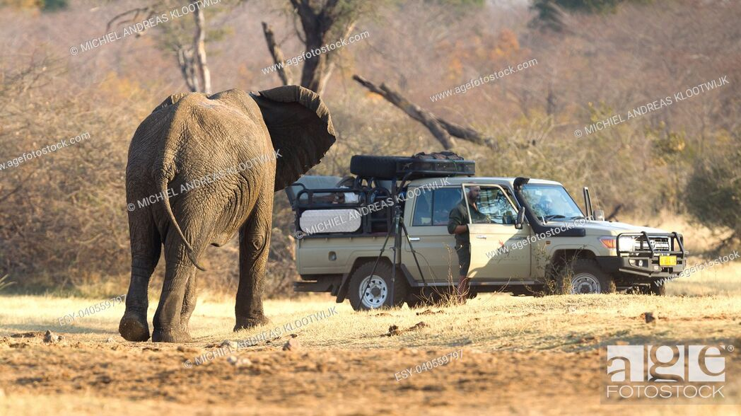 Stock Photo: Divundu, Namibia, 13 august 2018 - Professional photographer taking shots of an African Elephant charging the car.