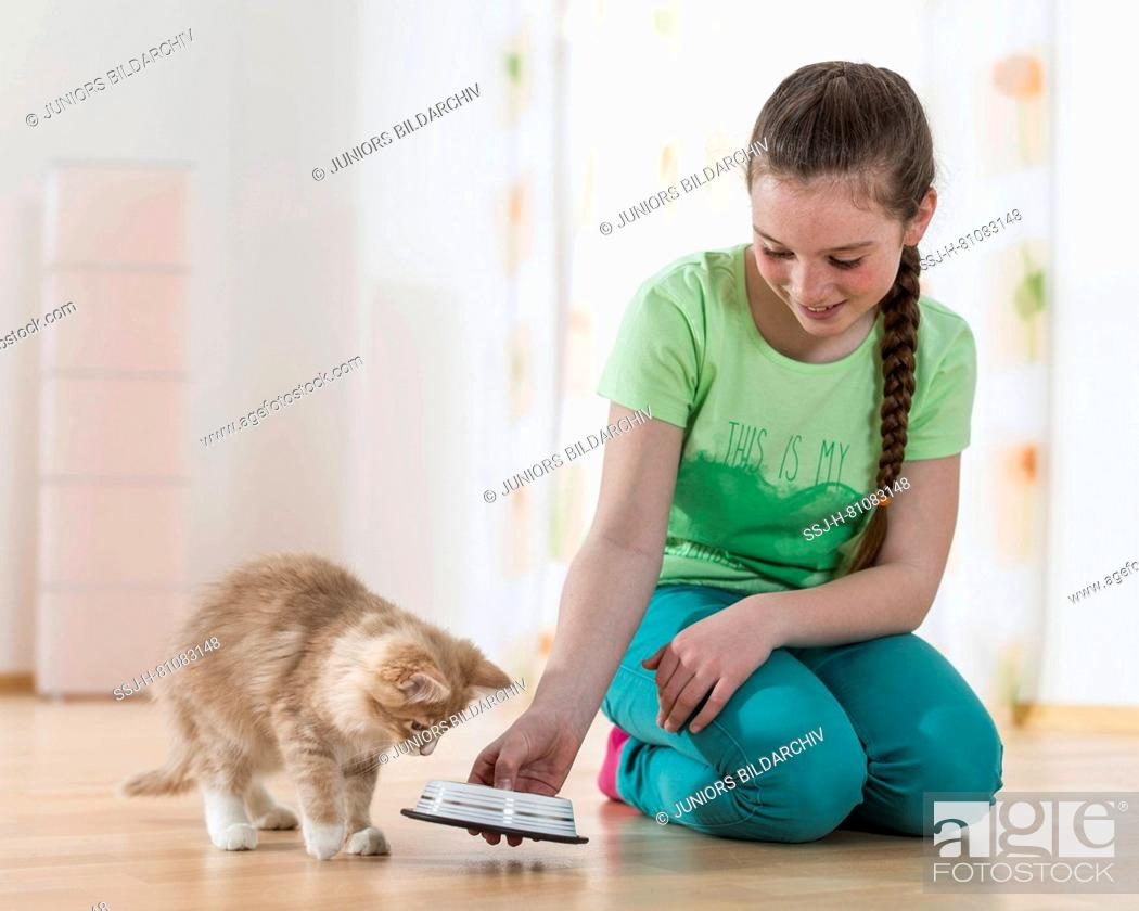 Stock Photo: Maine Coon Cat. Girl feeding a kitten. Germany.
