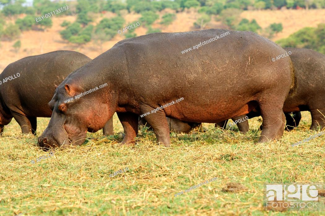 Stock Photo: A herd of hippopotamuses Hippopotamus amphibius, grazing on the bank of the Chobe River, Chobe National Park, Botswana.