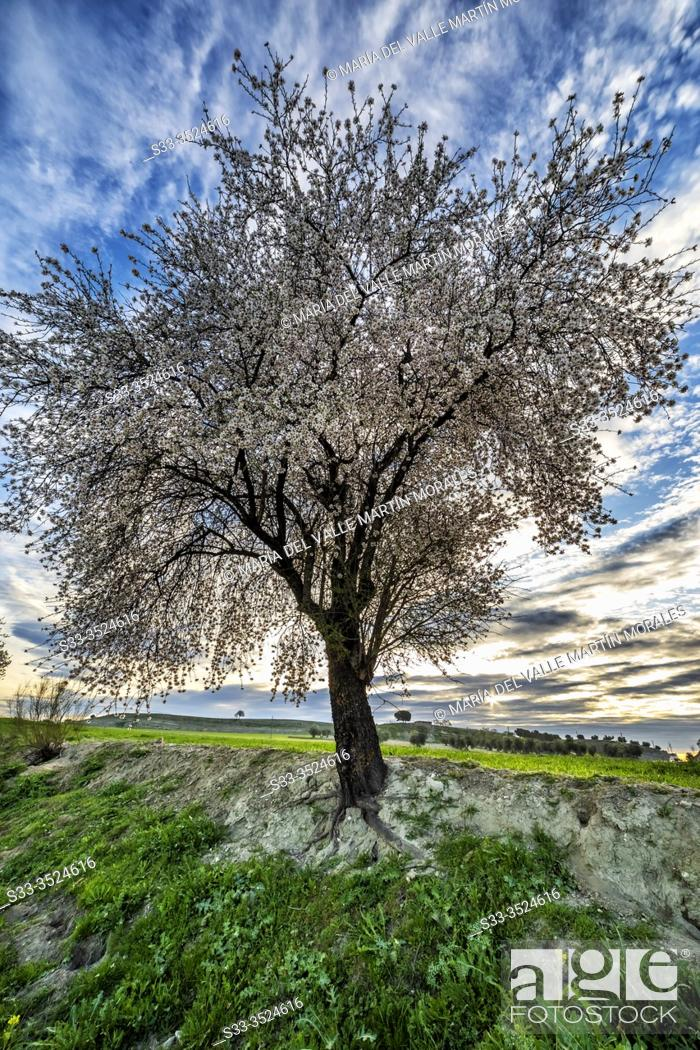 Stock Photo: Blossom almond tree at dawn and fields in Pinto. Madrid. Spain. Europe.