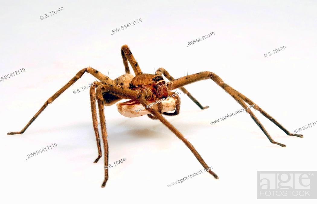 Stock Photo: giant crab spiders, huntsman spiders, giant crab spider, cane spider  (Heteropoda venatoria), with cocoon, cut-out.