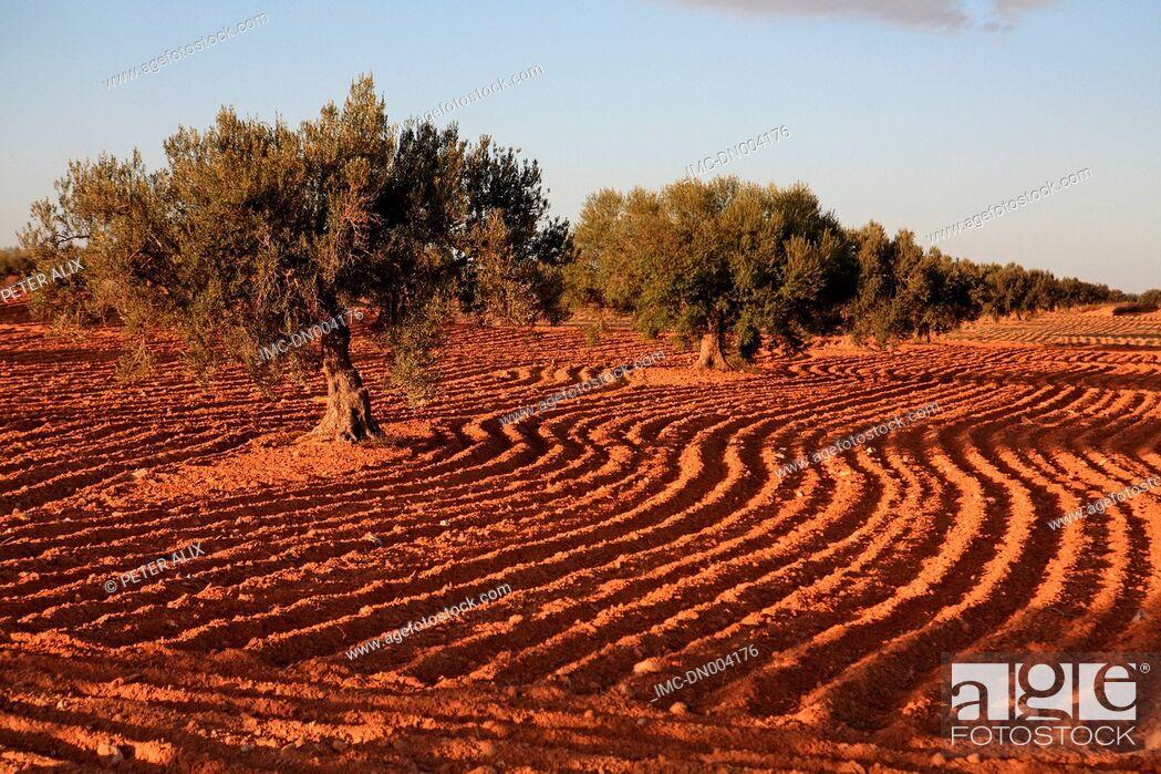 Imagen: Tunisia, near Medenine, olive trees.