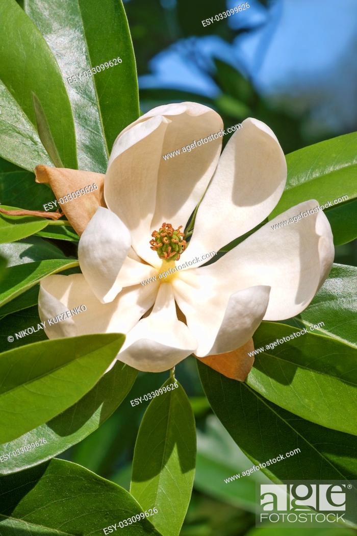 Imagen: Sweetbay magnolia (Magnolia virginiana). Called Sweetbay, Laurel magnolia, Swampbay, Swamp magnolia, Whitebay and Beaver tree also.