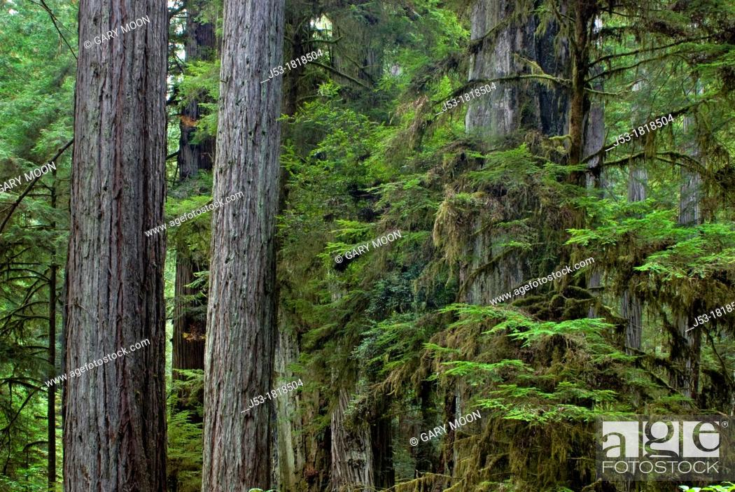 Stock Photo: Multi level coast redwood trees, Sequoia sempervirens, in old growth coast redwood forest, Prairie Creek Redwoods State Park, California.