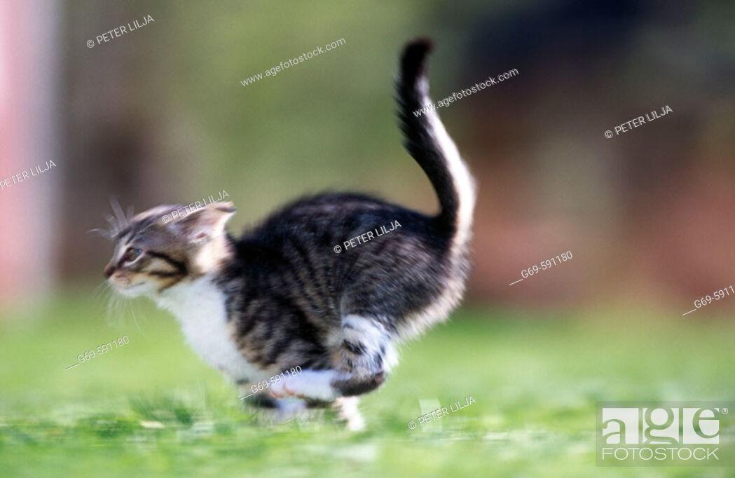 Stock Photo: A running kitten. Medle, Västerbotten, Sweden.