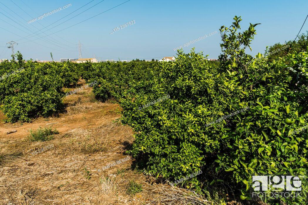 Stock Photo: Orange trees.Valencia. Spain.