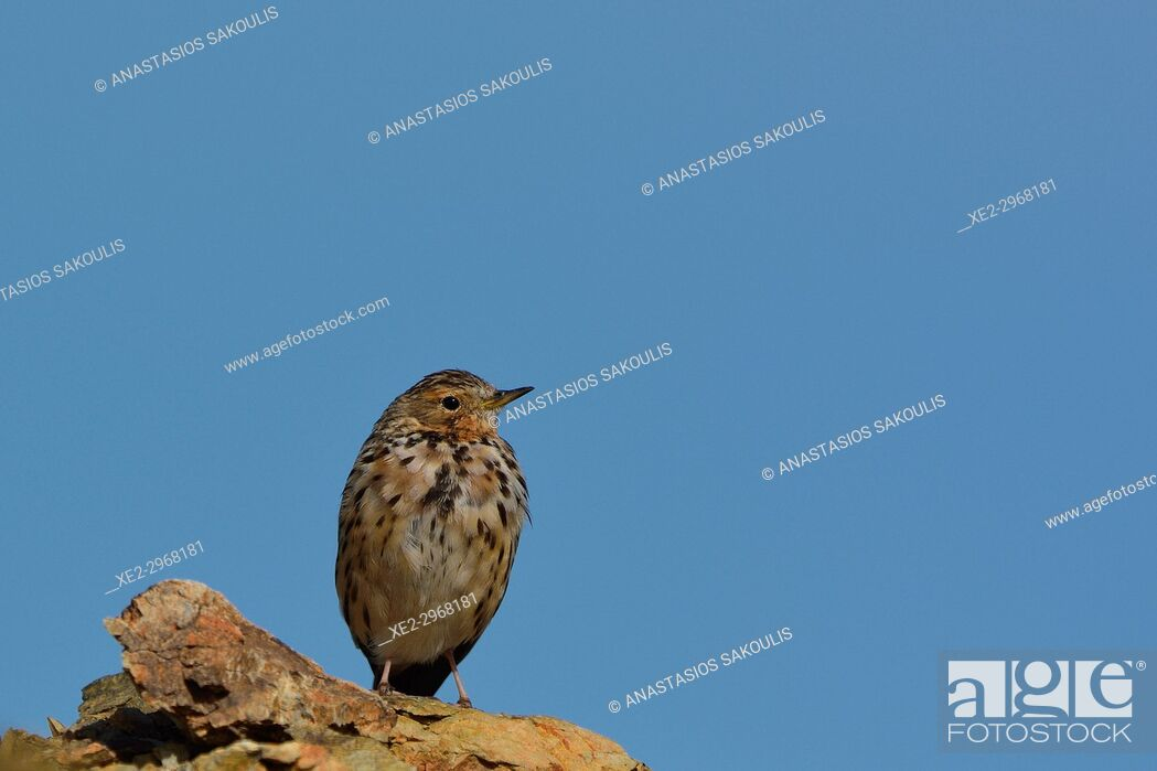 Imagen: Red-throated Pipit - Anthus cervinus, Crete.