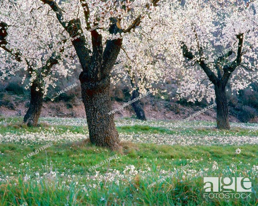 Stock Photo: Almond trees in spring on a field  LLeida  Spain.