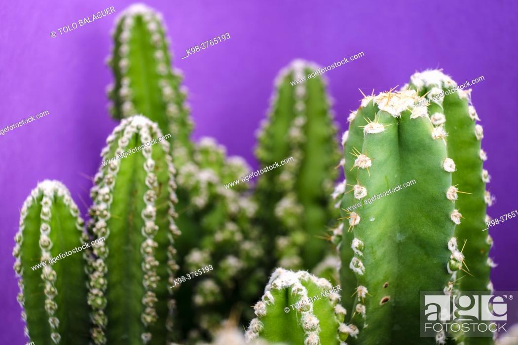 Stock Photo: cactus for computer, Cereus uruguayanus, Mallorca, Balearic Islands, Spain.
