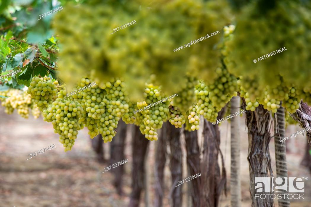 Stock Photo: White grapes, vineyard, Totana, Murcia, Spain.