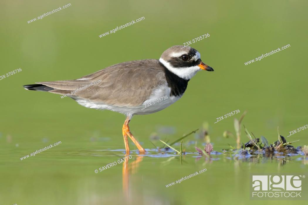 Photo de stock: Ringed Plover (Charadrius hiaticula), side view of an adult standing in the water, Campania, Italy.