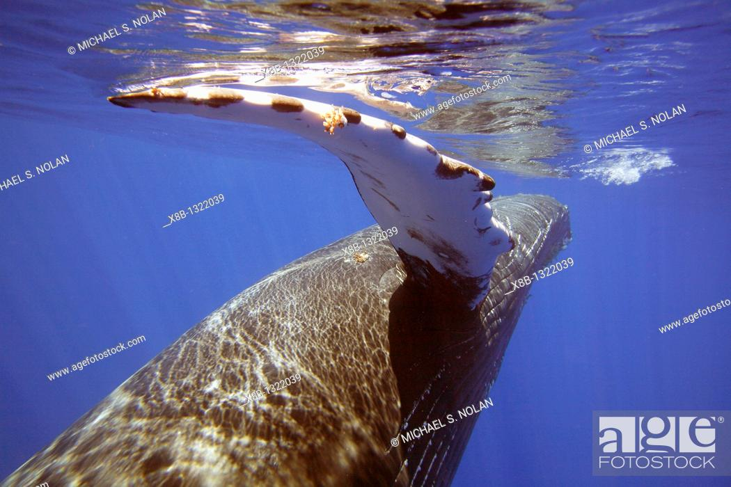 Stock Photo: Curious sub-adult female humpback whale Megaptera novaeangliae reaching out with her pectoral fin and interacting by rolling and approaching time and again in.