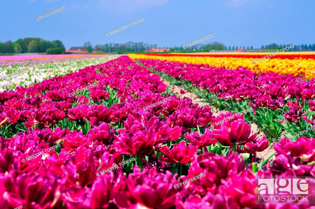 Stock Photo: Field Of Tulips.