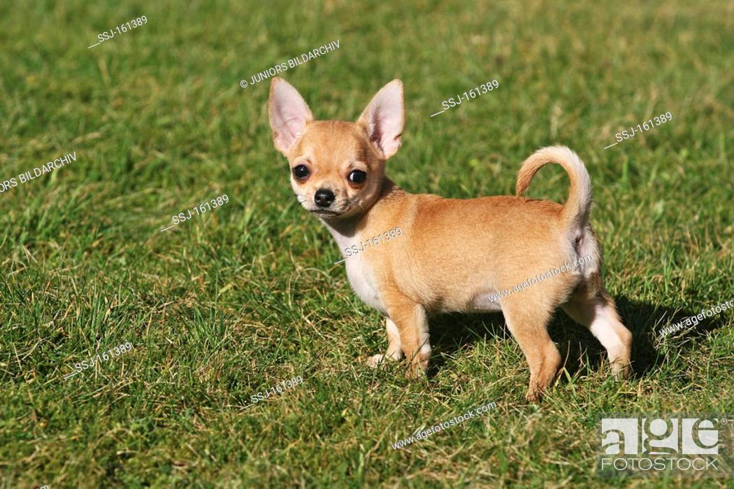 Stock Photo: Chihuahua dog - puppy standing on meadow.