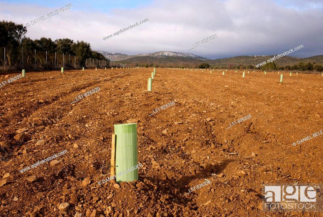 Stock Photo: Truffle plantation, El Toro, Castellón, Comunidad Valenciana, Spain, Europe.