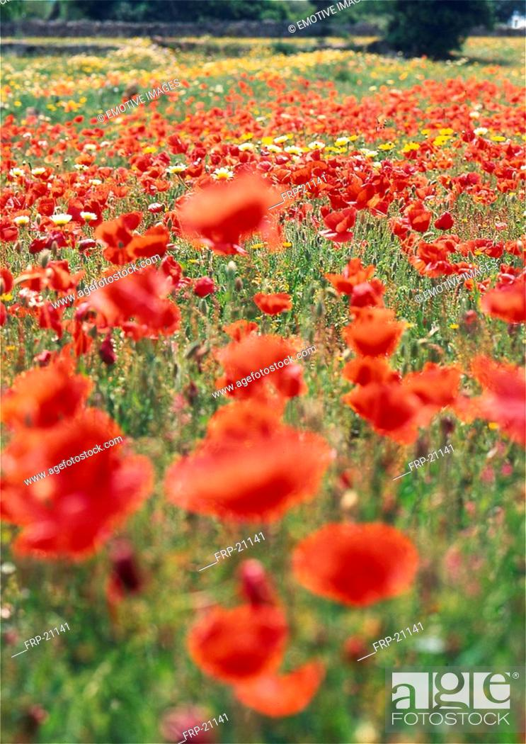 Stock Photo: Poppy field.