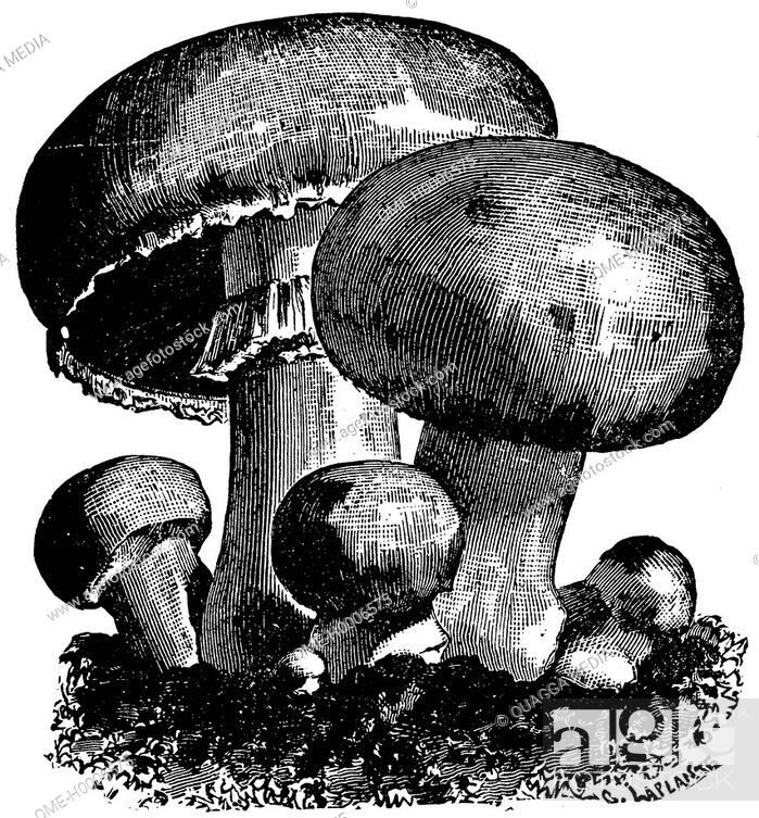Imagen: White mushroom.