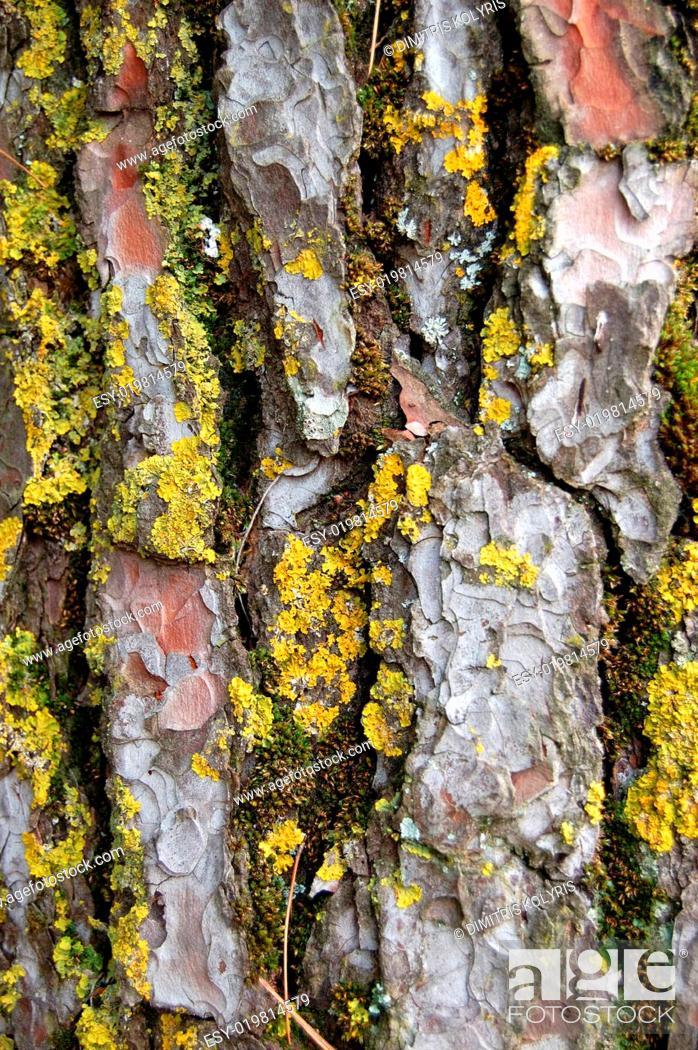 Stock Photo: pine tree trunk wood texture.