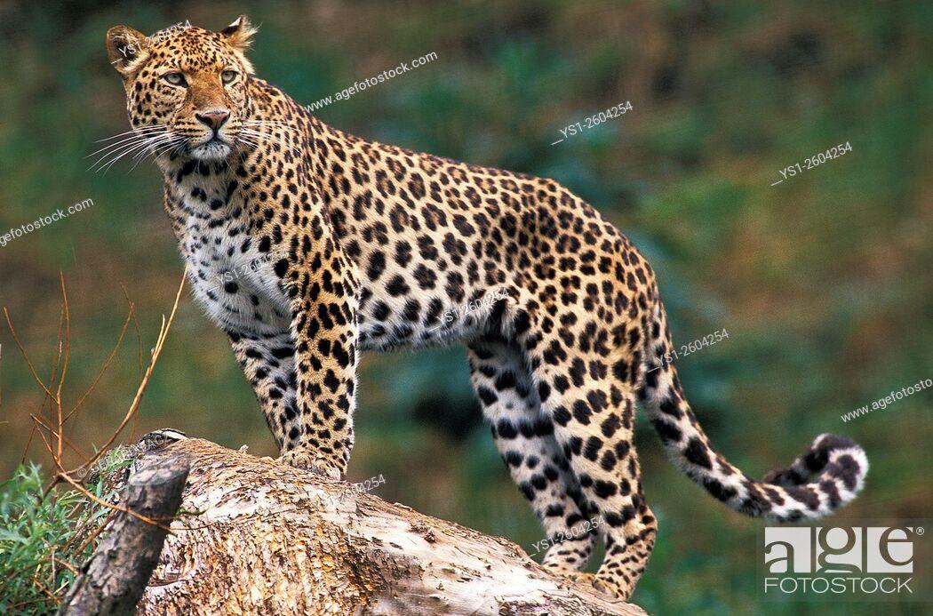 Stock Photo: Leopard, panthera pardus, Africa.