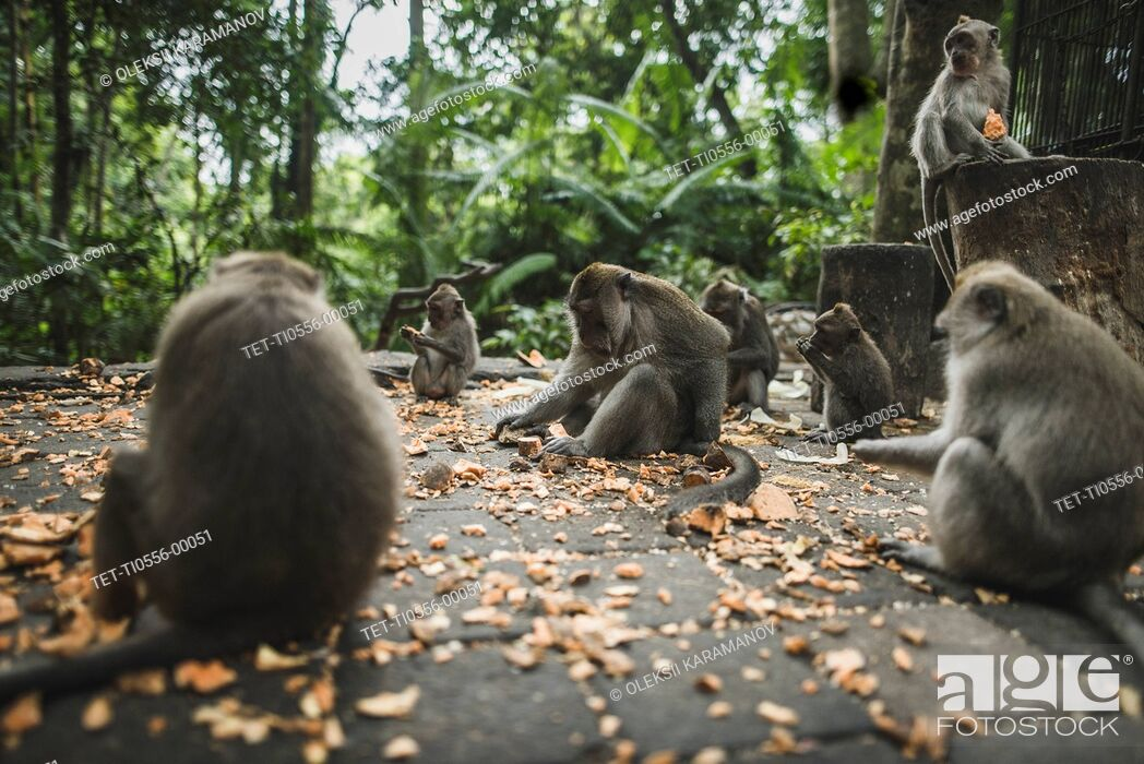 Stock Photo: Macaques on pavement with leaves in Bali, Indonesia.