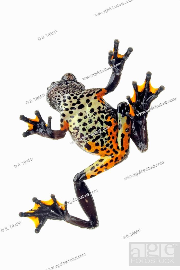 Marbled tree frog (Dendropsophus marmoratus, Hyla marmorata