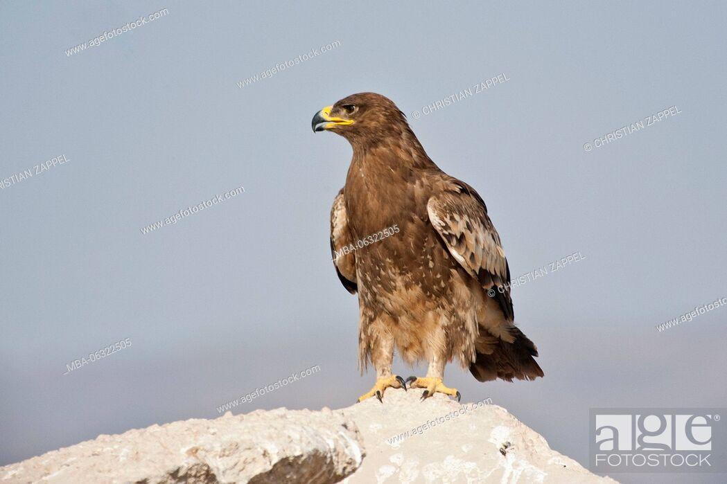 Stock Photo: Steppe Eagle, Aquila nipalensis, Oman.