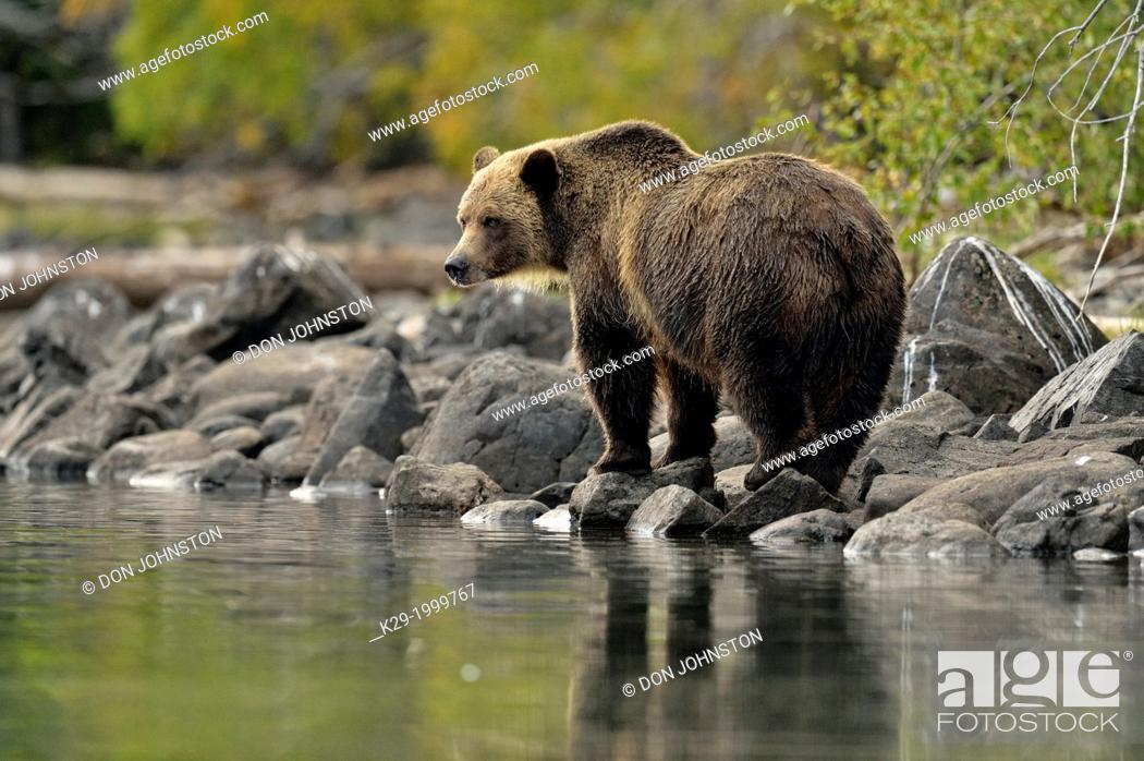 Stock Photo: Grizzly bear (Ursus arctos)- Hunting for spawning salmon along the shoreline of a salmon river. Chilcotin Wilderness, BC Interior, Canada.