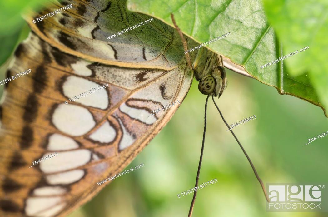 Stock Photo: Butterfly Sitting Under a Leaf in Botanical Garden Erfurt. Germany.