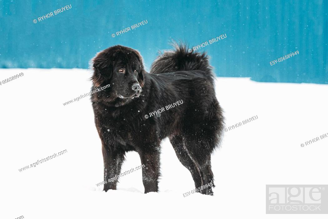Stock Photo: Dog Newfoundland Walk Outdoor In Snow At Winter Day.