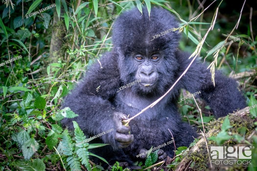 Photo de stock: A baby Mountain Gorilla (Gorilla beringei beringei) of the Muhoza group , grasps a bamboo chute, in Volcanoes National Park, Virunga mountain range , Rwanda.