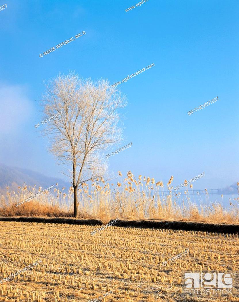 Stock Photo: tree in field.