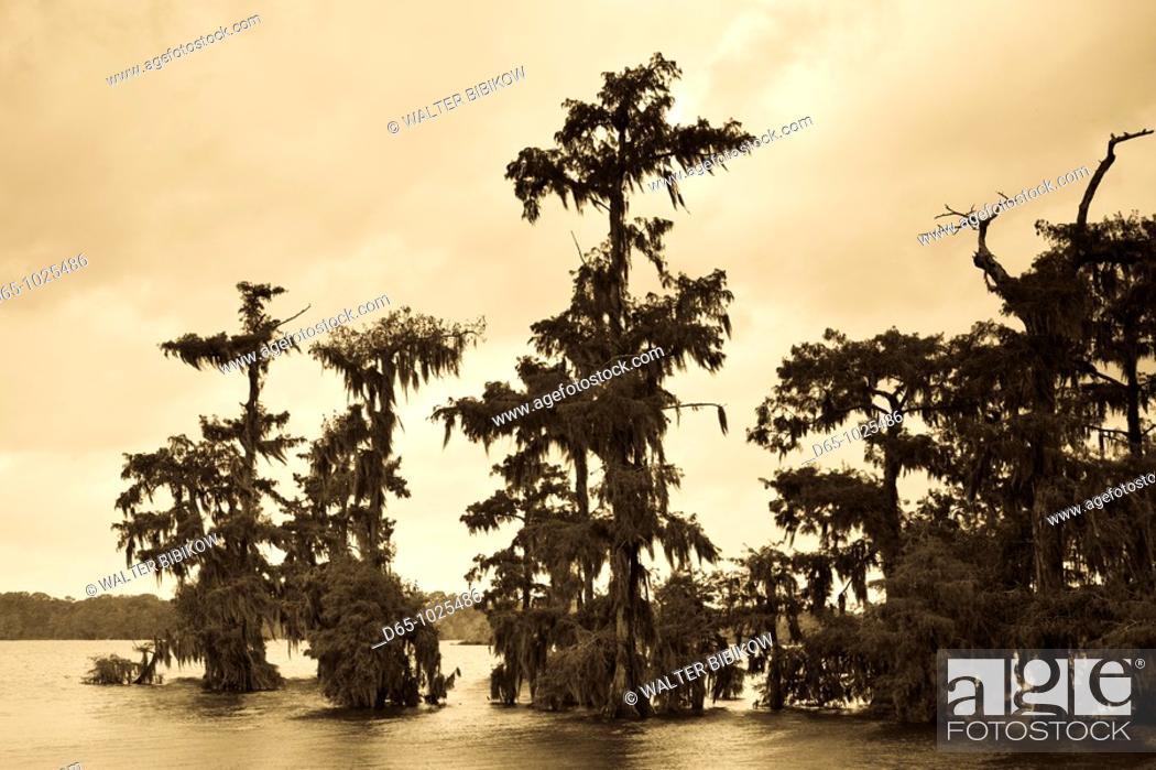 Stock Photo: USA, Louisiana, Cajun Country, Lafayette, Lake Martin, swamp.