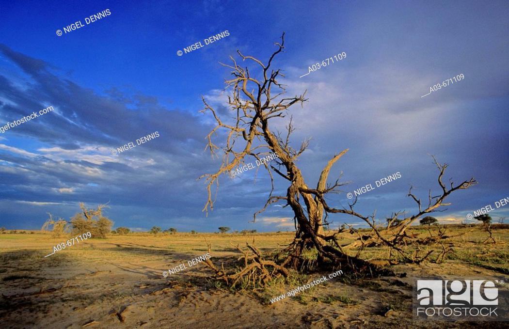 Stock Photo: Dead Camelthorn tree and storm sky, Kgalagadi Transfrontier Park, Kalahari, South Africa.