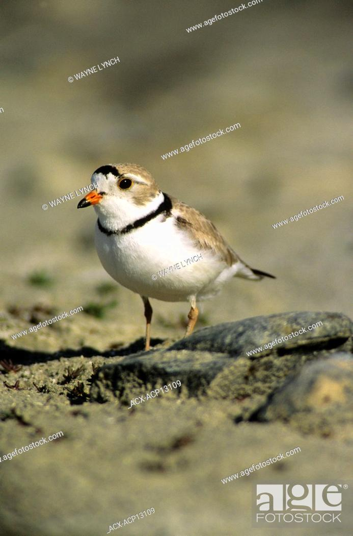 Stock Photo: Adult piping plover Charadrius melodus in breeding plumage, aspen parklands, east-central Alberta, Canada.