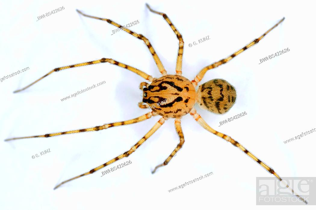 Stock Photo: spitting spider (Scytodes thoracica), cut-out, Austria.