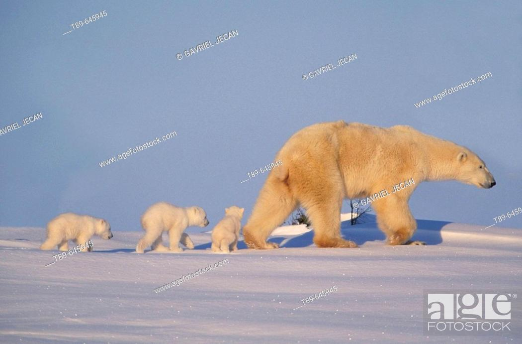 Stock Photo: Polar bear (Ursus maritimus), mother and cubs.