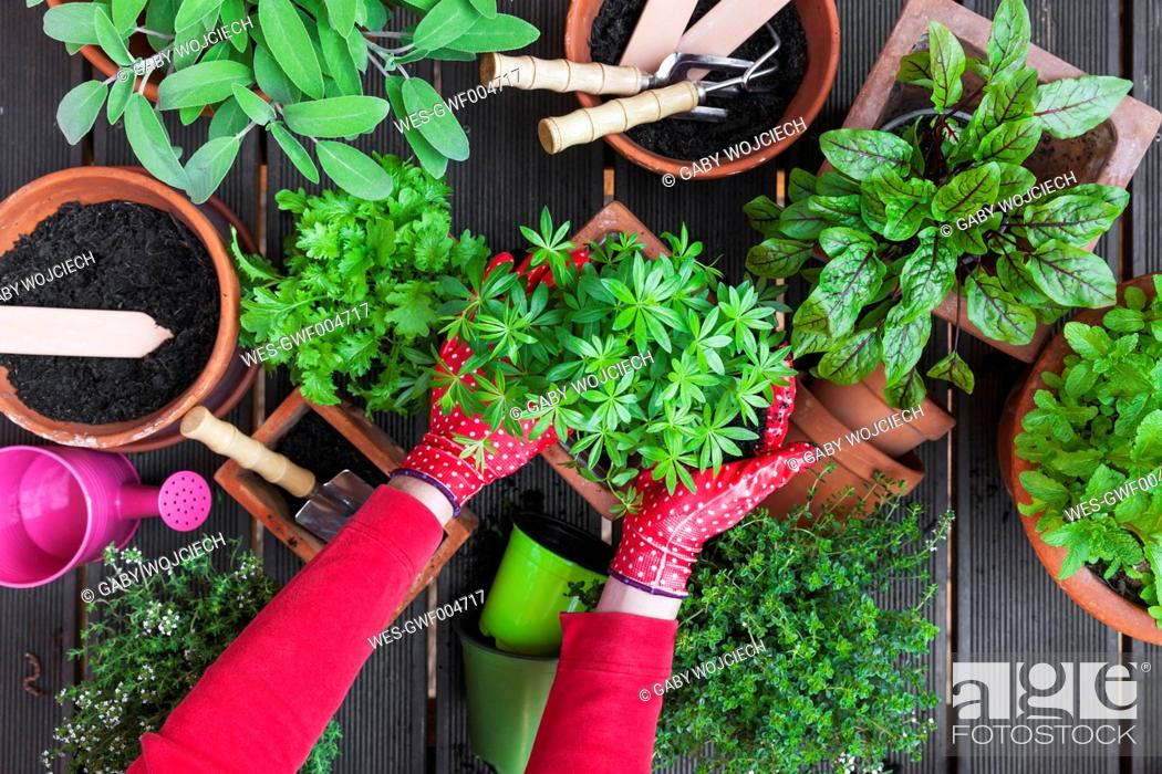 Stock Photo: Gardening, potting medicinal and kitchen plants.