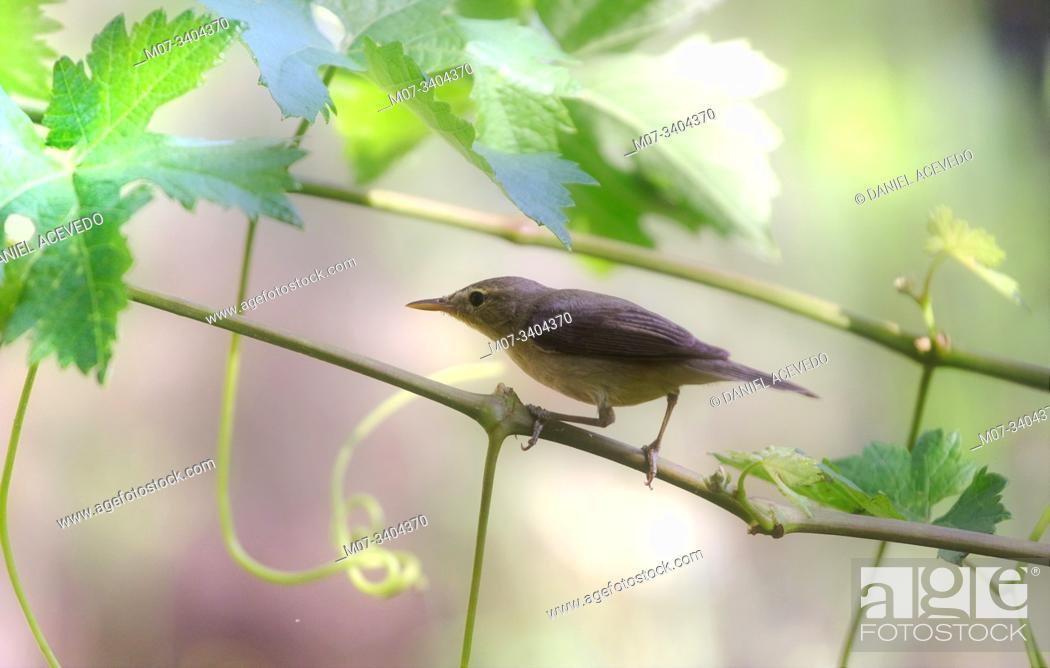 Stock Photo: melodious warbler (Hippolais polyglotta) La Rioja, Spain.