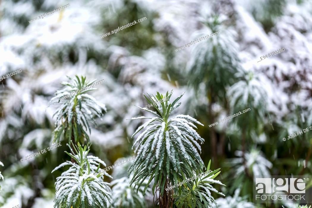 Stock Photo: A dusting of snow on the leaves of a Euphorbia plant in a garden.Birmingham, Alabama, USA.