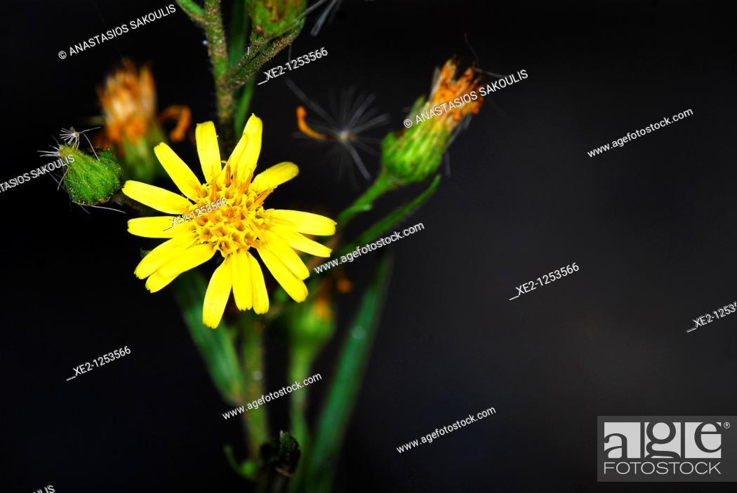 Imagen: False yellowhead Dittrichia viscosa, Crete.