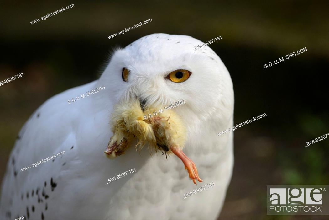 Stock Photo: Snowy Owl (Strix scandiaca, Nyctea scandiaca, Bubo scandiacus), with a caught chicken in the beak.