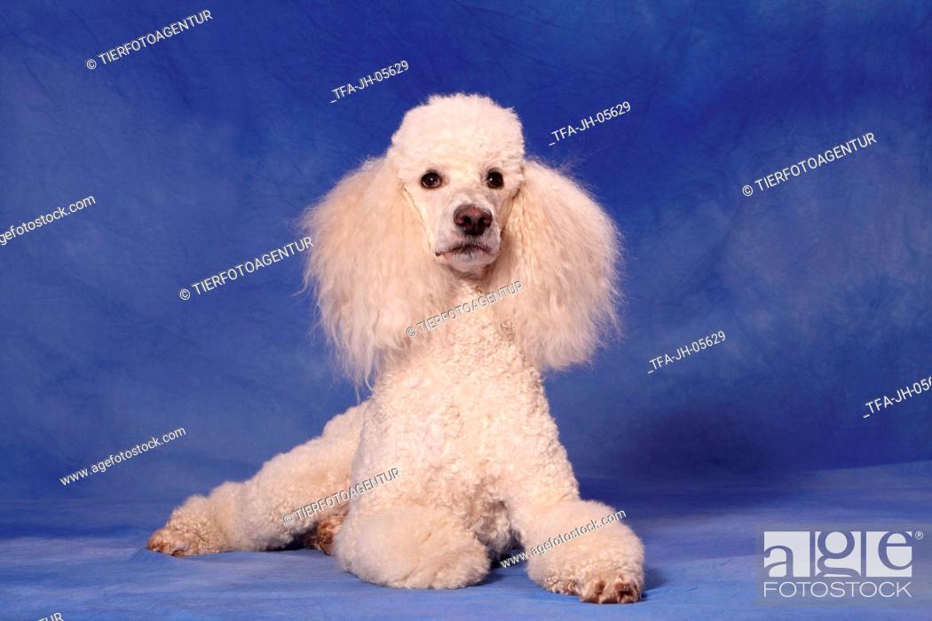 Stock Photo: lying Giant Poodle.