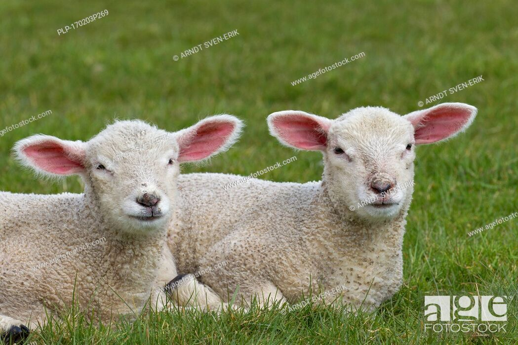 Stock Photo: Two white lambs of domestic sheep lying side by side in meadow.