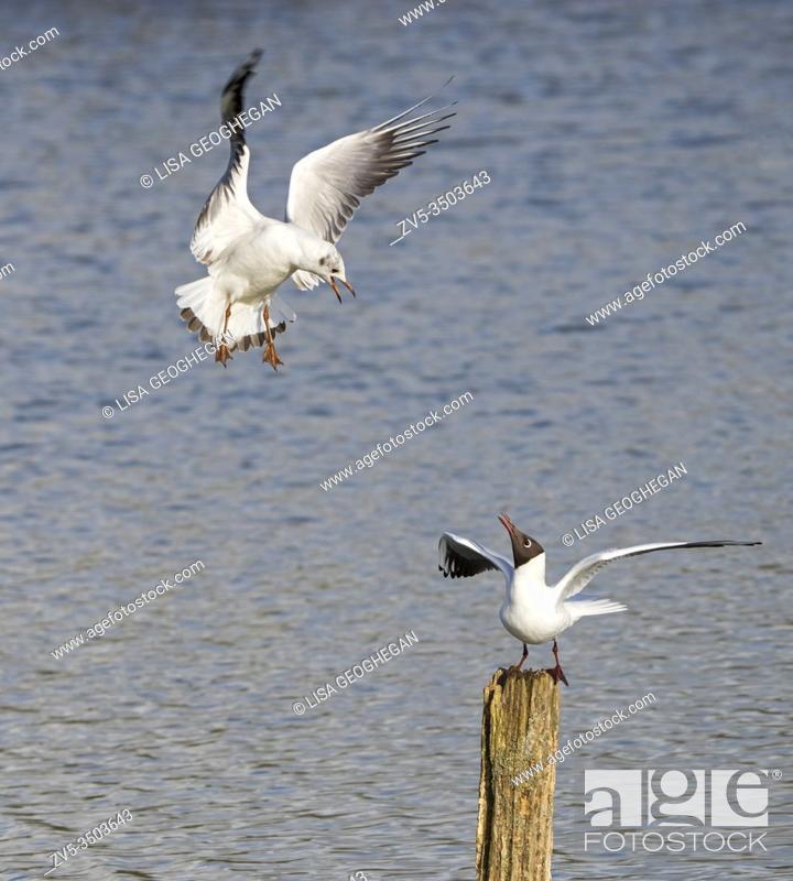 Stock Photo: Black-Headed Gull- Larus ridibundus and Herring Gull-Larus argentatus display aggression.
