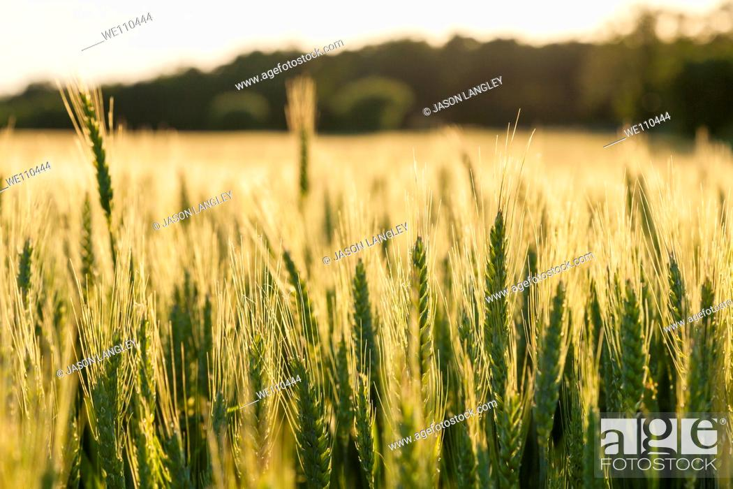Stock Photo: View over a wheat field growing on a small organic farm in rural France in late spring  Warm Light from afternoon sun  La Creuse, Limousin, France.