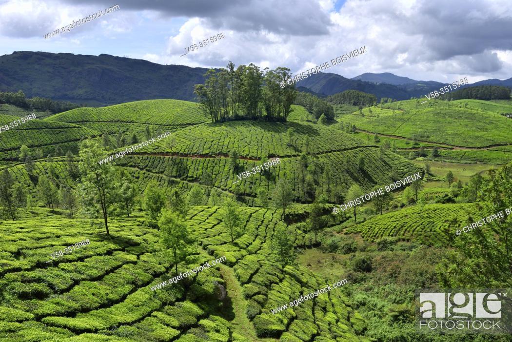 Stock Photo: India, Kerala, Munnar, Tea plantations.