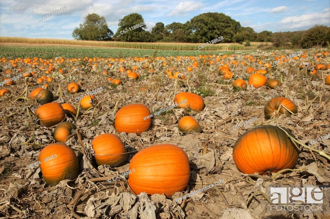 Stock Photo: Pumpkins ripening in field for halloween.